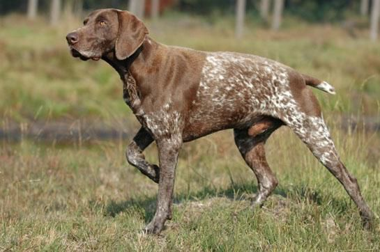 The Best Hunting Dog Breeds for Every Game Animal | Outdoor Life