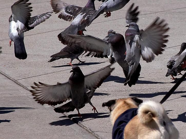 Americans used to eat pigeon all the time—and it could be