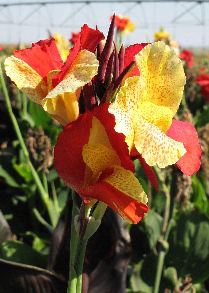 Cannas add tropical garden color, tolerate Texas summers