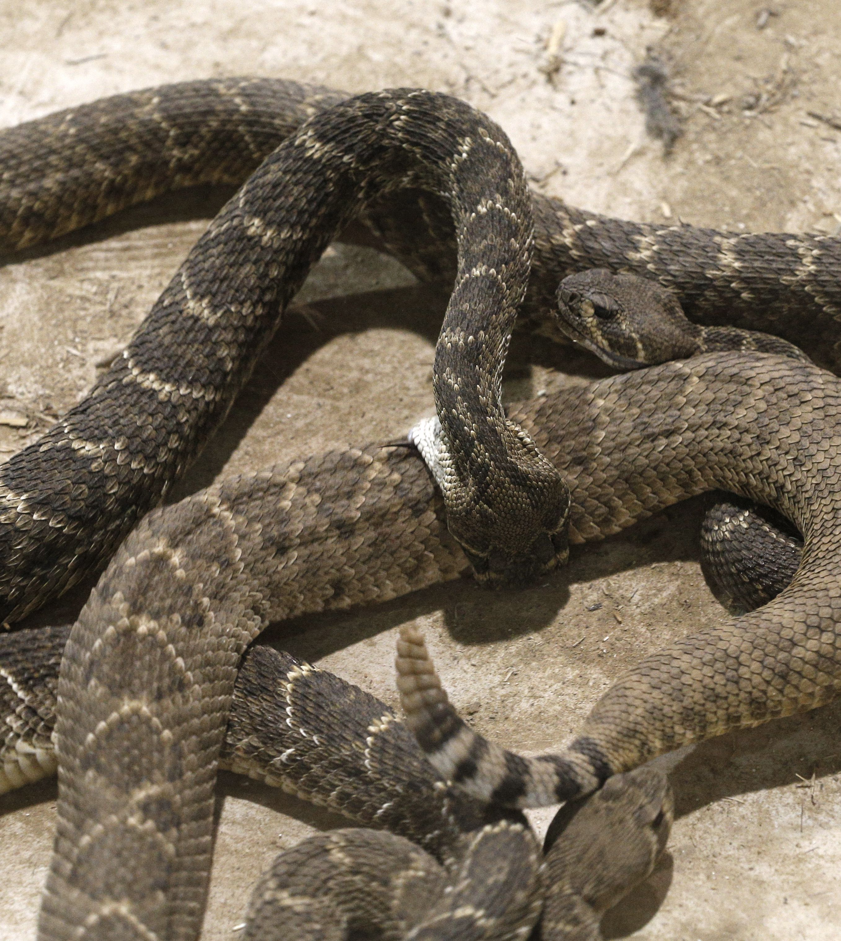 Texas rattlesnake battle pits small-town economics against