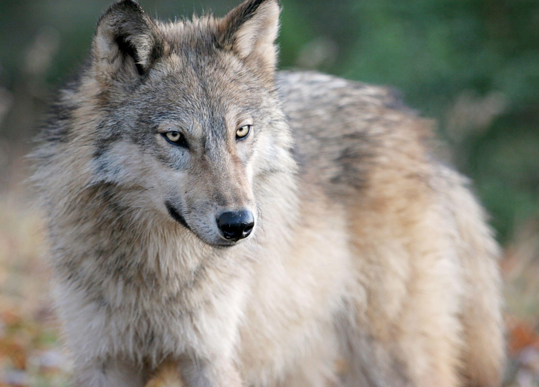 wolf attack banff national park