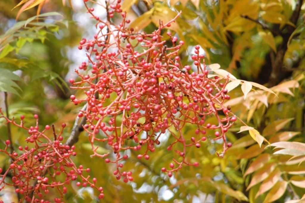 This Invasive Tree Species Is Coming Up Everywhere In North Texas