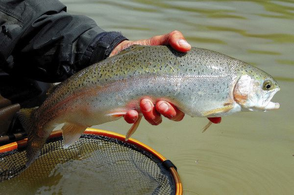 Low water's effect on trout stocking may not be as harsh as