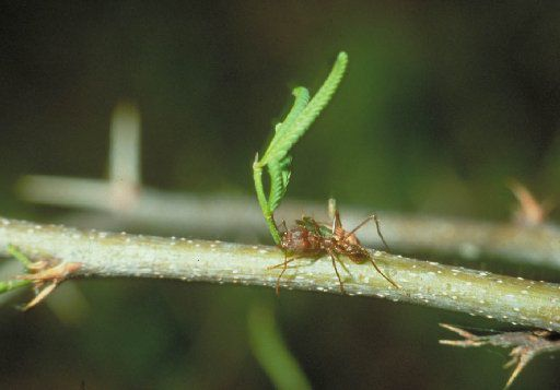 How to get rid of fire ants and leaf-cutter ants using