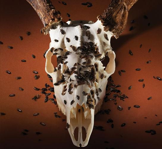 Make Your Own Deer Skull Mount With Diy Taxidermy Outdoor Life