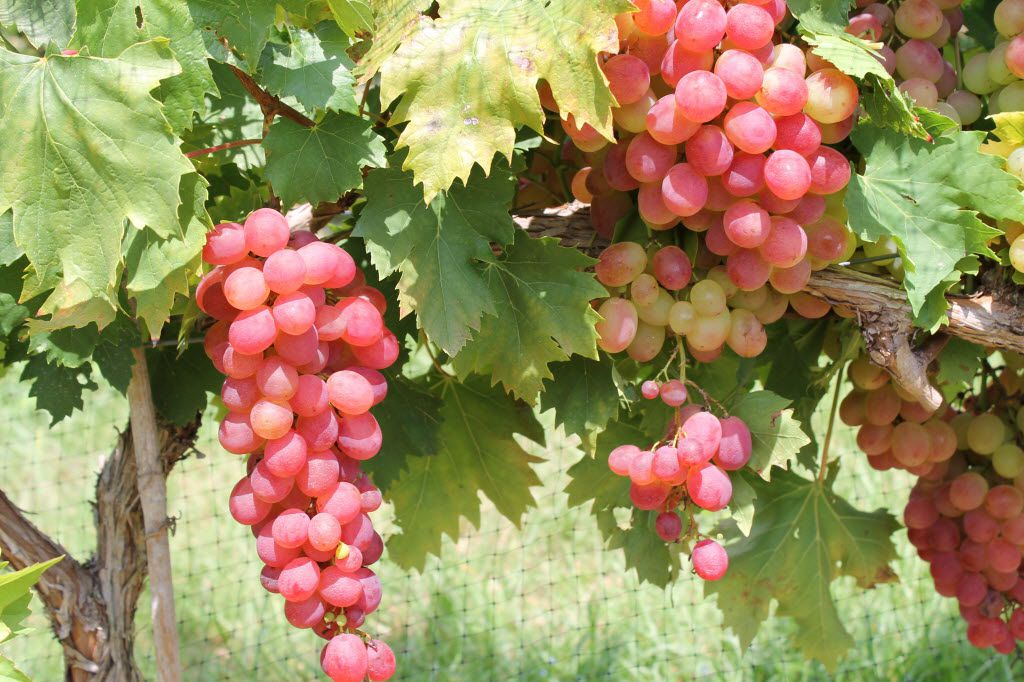 Growing Grapes In Your Backyard Is Not Just An Indulgent Fantasy