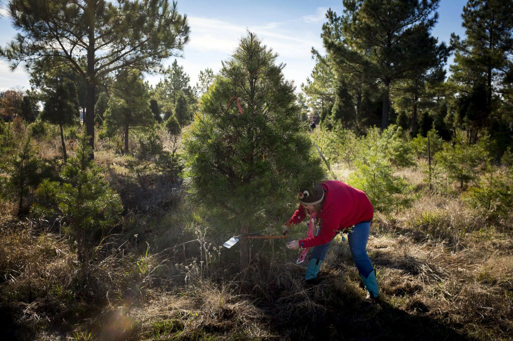Cut Your Own Christmas Tree.Where To Cut Your Own Christmas Tree Within About A 1 Hour