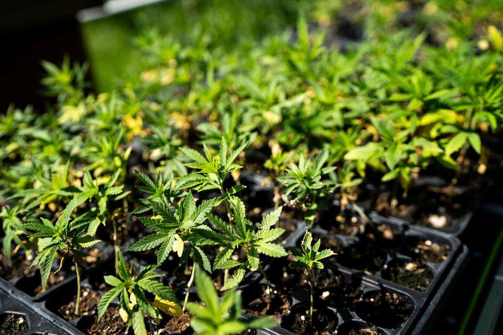 Gov  Greg Abbott signs law legalizing hemp production, CBD