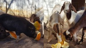 Don't throw away that pumpkin! Angels of Assisi collecting, giving them to local farm animals