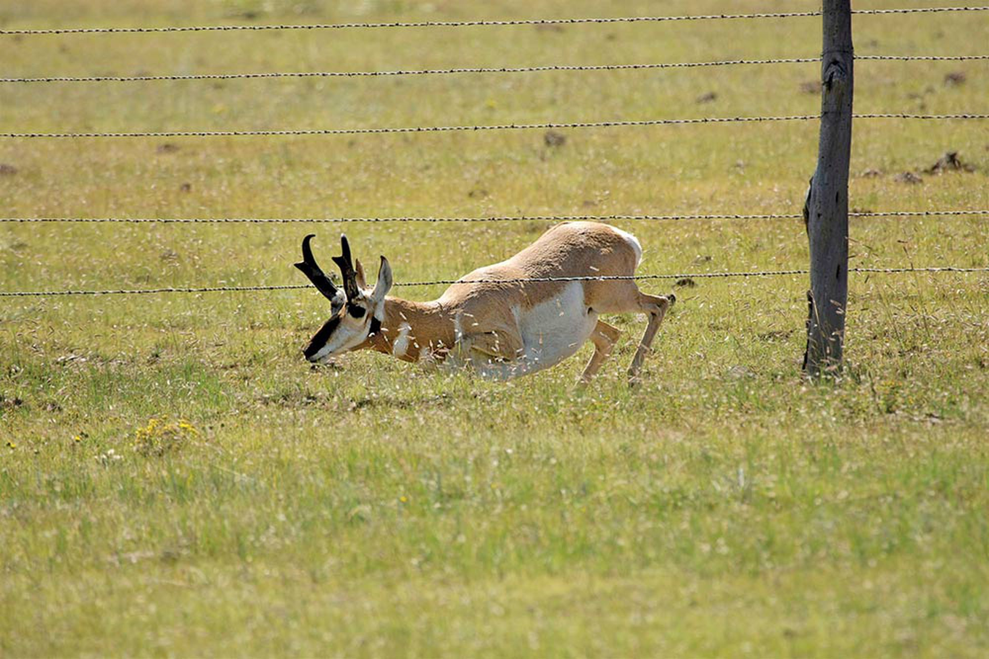 Public Land Pronghorns Where And How To Hunt Antelope On A