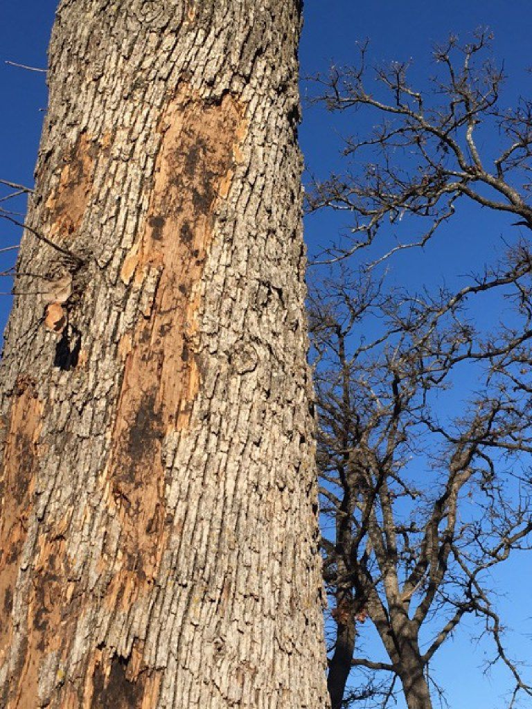 Why Is The Bark Falling Off Of This Lakeside Oak Tree