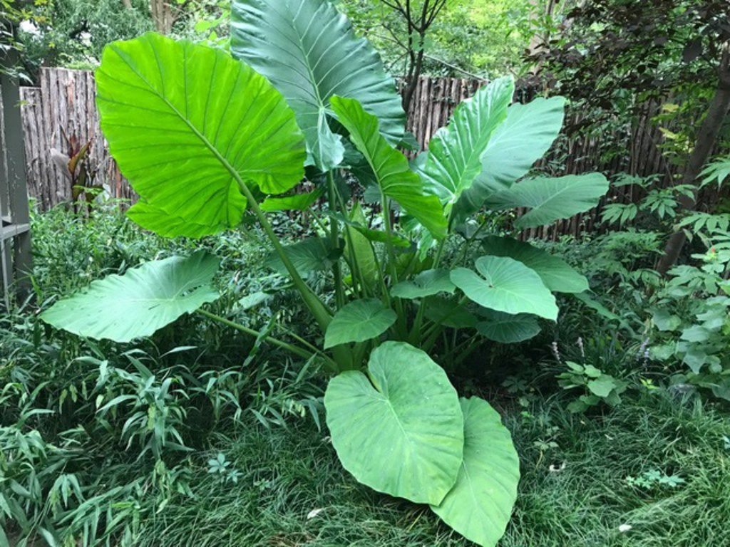 Dramatic Elephant Ear Plants Are Plenty Tough Enough For North Texas