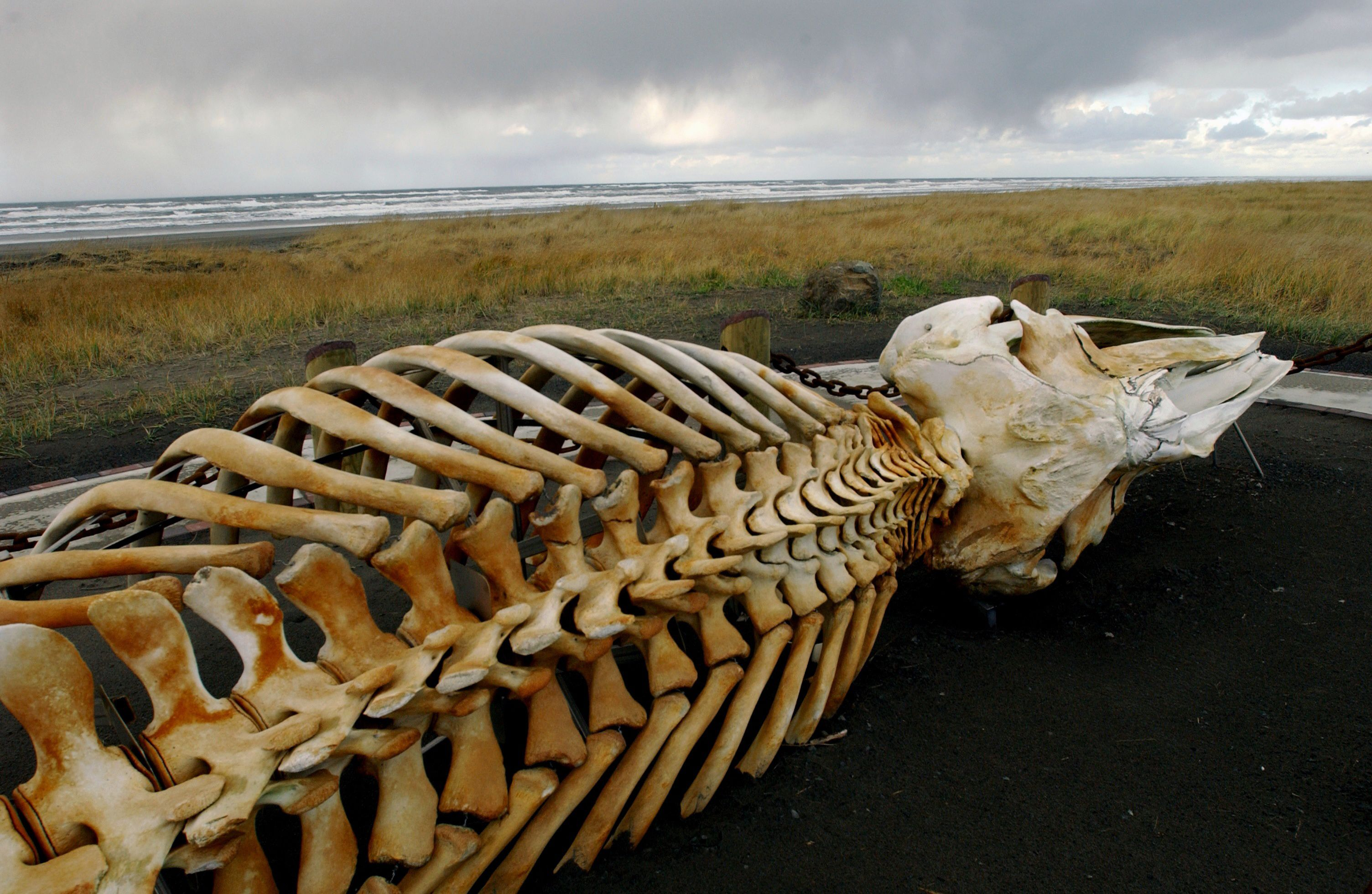 The Sad Smelly Story Behind A Beloved Gray Whale Skeleton In Long Beach Oregonlive Com