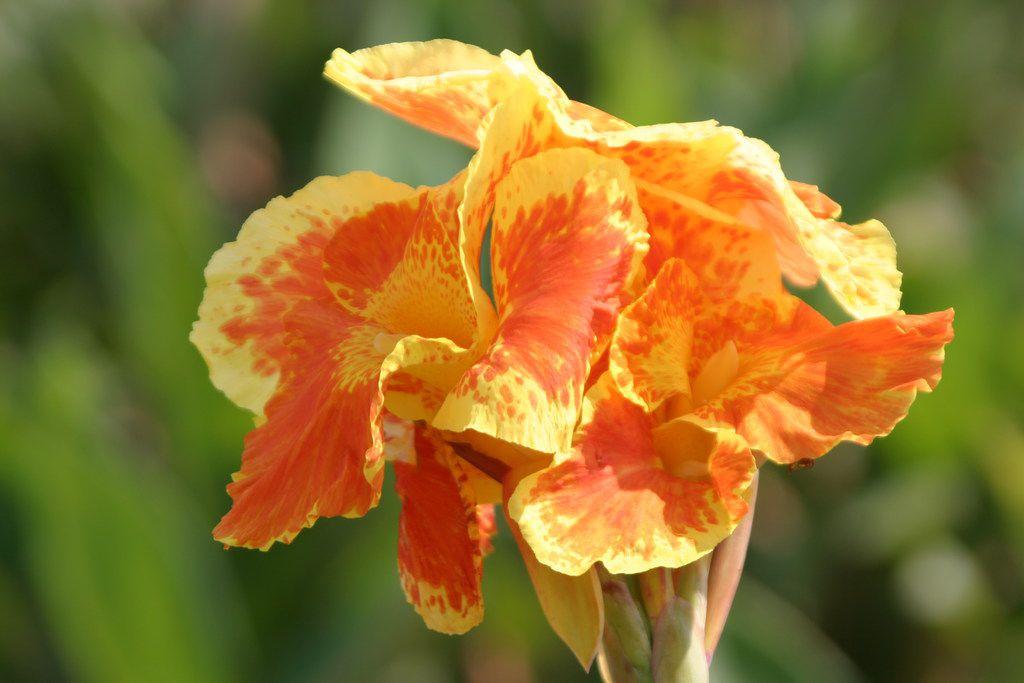 1 Yellow wOrange Tropical Flowers Canna Lily Bavaria rhizomebulb