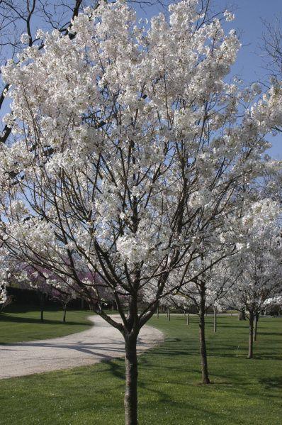 It S Cherry Blossom Time Blogs The Shawnee News Star Shawnee Ok
