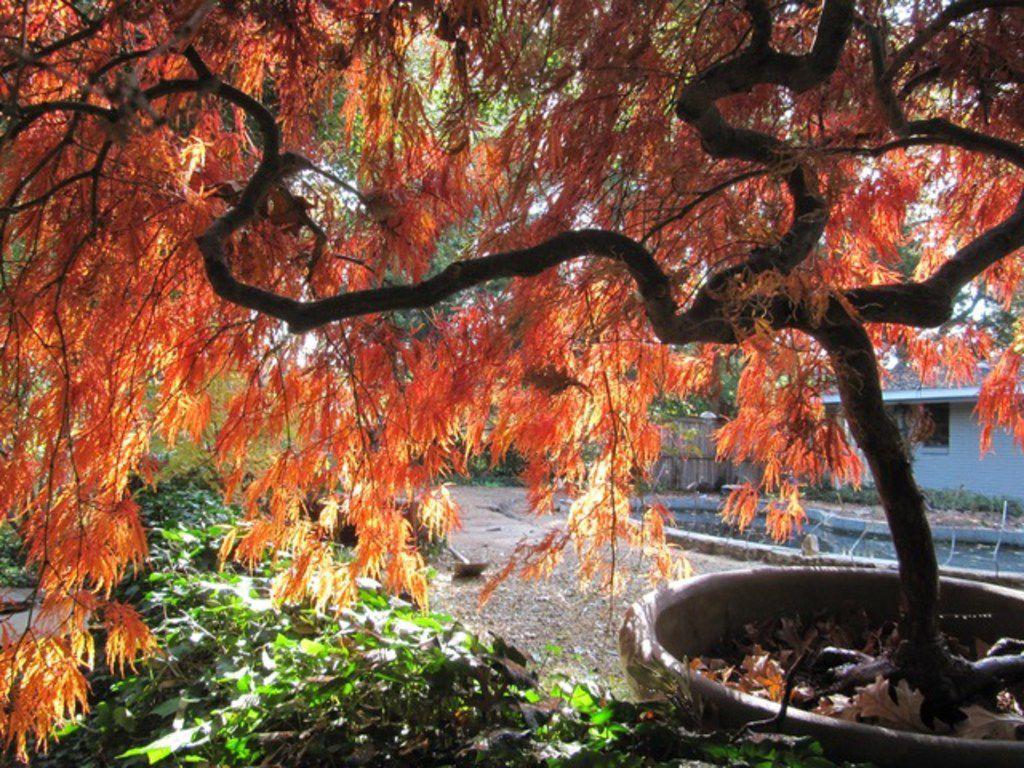 How To Choose The Right Maple Tree For North Texas
