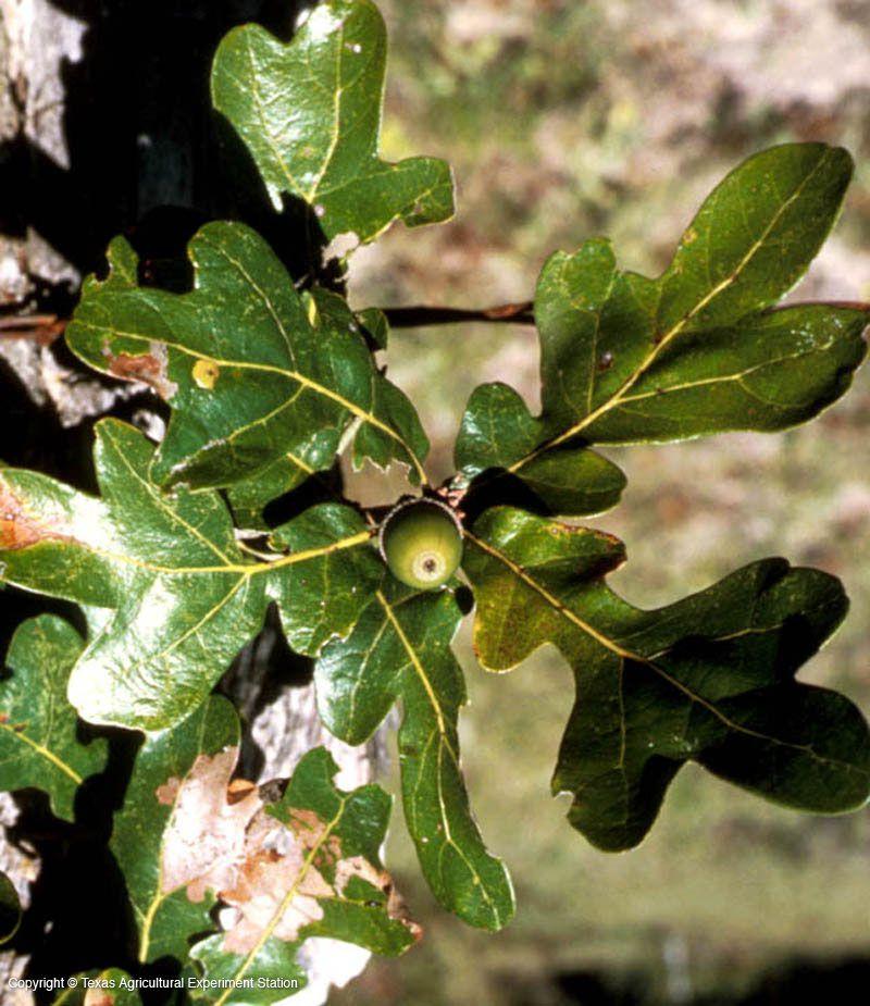 Oak Tree Care And Maintenance Summer Practices Sierra News Online