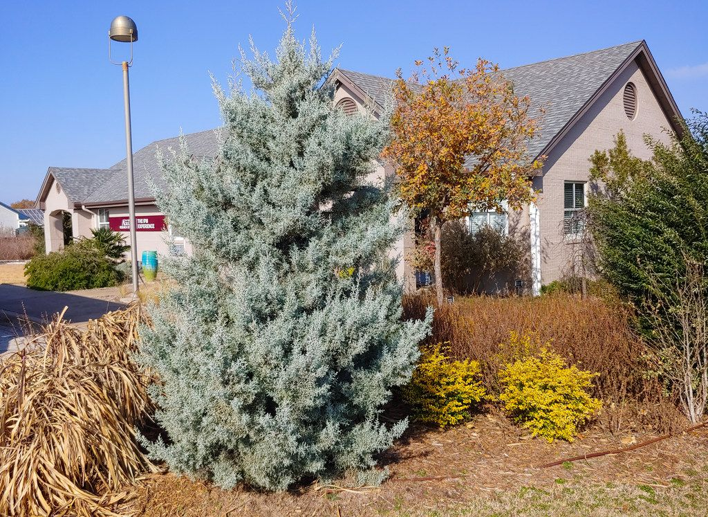 Christmas Tree Outside.5 Types Of Living Christmas Trees That Actually Grow Well In