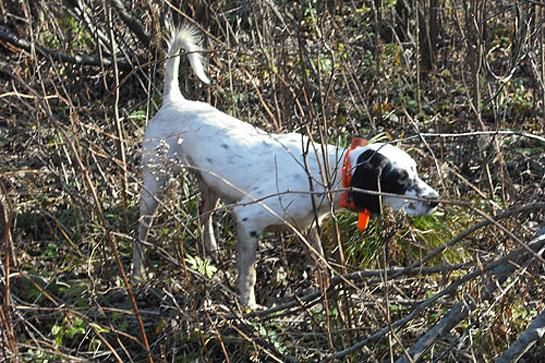 The Best Hunting Dog Breeds For Every Game Animal Outdoor Life