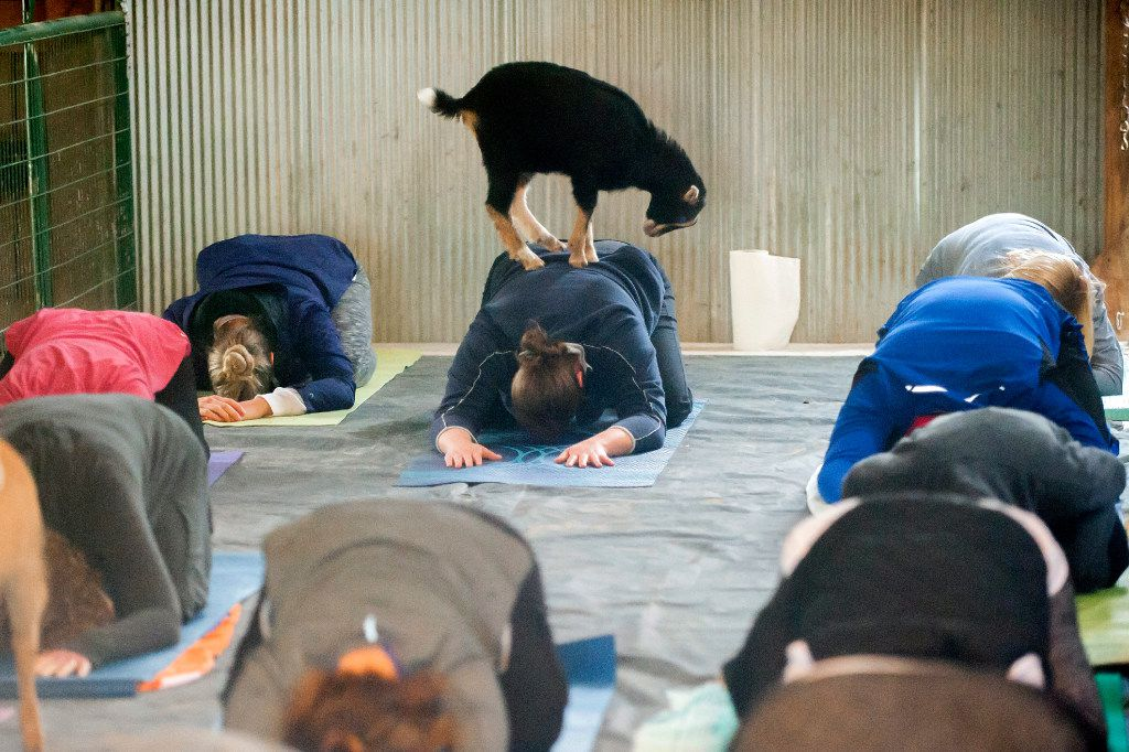 5 Inventive Ways To Do Yoga In D Fw Including With Beer Goats And Grooves